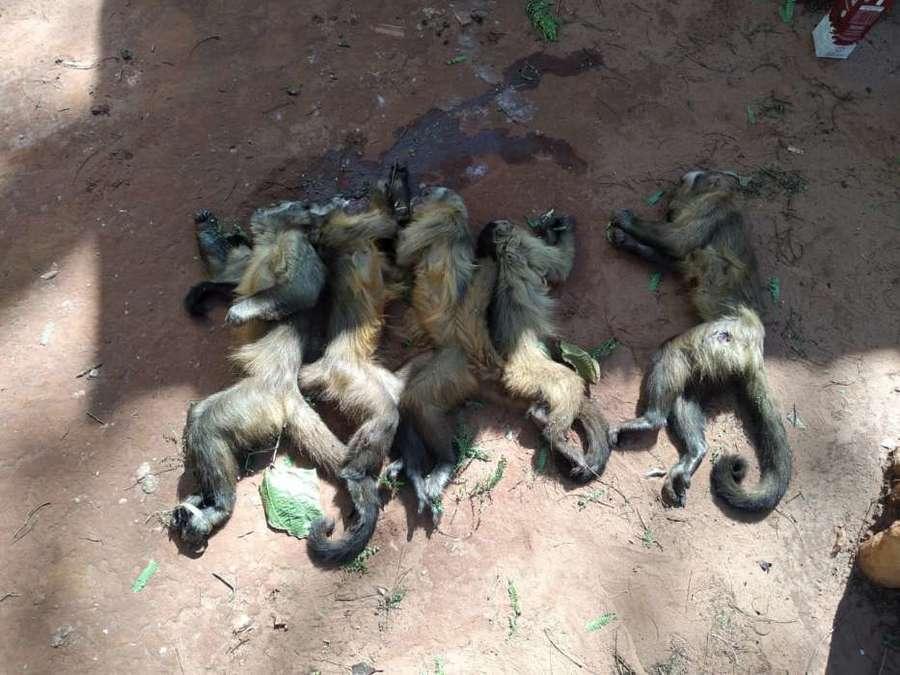 Center center macacos mortos