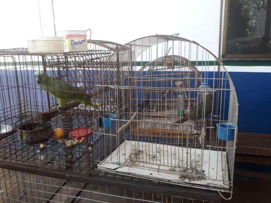 Center aves em cativeiro dourados 21 de novembro de 2019